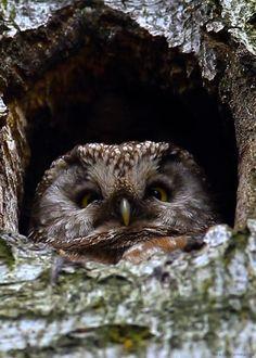 Head Like an Orange - Boreal owl (Štěpán Strádal) Owl Gifs, Strix Nebulosa, Nocturnal Birds, Screech Owl, Great Grey Owl, Owl Pictures, Owl Photos, Beautiful Owl, Animation
