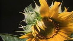 """From Seed to Flower This video segment depicts plant growth in time-lapse format, Footage from NOVA: """"The Shape of Things. Fourth Grade Science, Primary Science, Science Classroom, Teaching Science, Life Science, Science Web, Elementary Teaching, Elementary Science, Earth Science"""