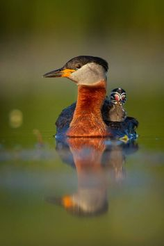 A Red Necked Grebe with her young chick baby animals birds ducks grebes bird