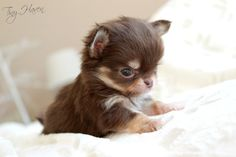 Teacup Chihuahua Puppies, Cute Chihuahua, Pet Dogs, Dog Cat, Pets, Doggies, Animals For Kids, Cute Baby Animals, Cute Animal Pictures