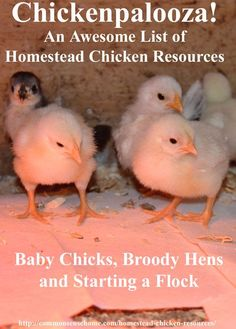 Chickenpalooza!  An Awesome List of Homestead Chicken Resources - Recommended books, equipment and links to over 60 homestead chicken posts on the web covering everything from chicks to chicken diapers.