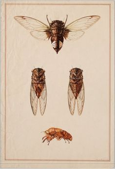get-on-the-carousel:    A cicada species.