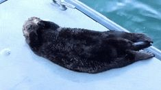 A sea otter stretching! (photo source): http://imgur.com/r/aww/X03VQhz