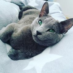 Russian blue cat. One year old ❤