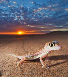 Gecko Pachydactylus rangei : il aura fallu deux jours entiers pour permettre au photographe animalier Martin Harvey de capturer des images inédites de cette espèce endémique du désert de Namibie