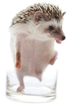 Learn how to take care of pet hedgehogs including the African pygmy hedgehog. Information on getting one, food & diet, housing & sleeping and more.