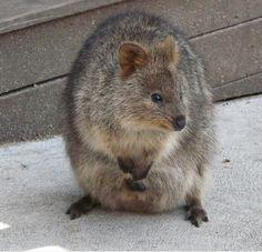 ele parece um pouco como uma combinação de um wombat e um wallaby