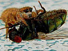Crab spider having lunch