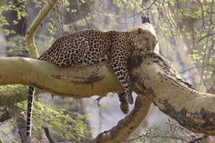 African Leopard at peace and dreaming the dream! http://worldwide-birding-tours.com/