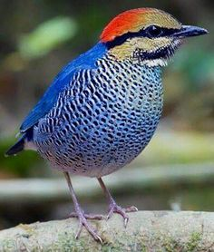 Blue Pitta.  Bangledesh