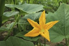 Pumpkin Plant Not Producing: Why A Pumpkin Plant Flowers But No Fruit - A common problem when growing pumpkins is…no pumpkins. It's not all that unusual and there are several reasons for a pumpkin plant that is not producing. Use the information from this article to find out what those are.