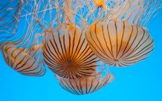 """Japanese Sea Nettles, the first jellies to greet visitors at """"The Jellies Experience."""" Richard Green / Reuters"""