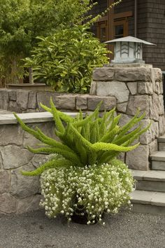 A container garden can be as simple as this foxtail fern, with alyssum as the ca. - A container garden can be as simple as this foxtail fern, with alyssum as the cascading accent plan - Container Flowers, Container Plants, Container Gardening, Container Design, South Texas Landscaping, Garden Landscaping, Landscaping Software, Evergreen Ferns, Foxtail Fern
