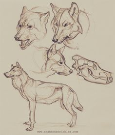 Some woofs for the this week. I was watching 's How to Draw Wolves, Coyotes, and Foxes while doodling these. Super fun content that makes me want to hooowwwwlllll with delight and just draw! You all should totally check out! Anatomy Sketches, Anatomy Drawing, Art Sketches, Animal Drawings, Art Drawings, Drawings Of Wolves, Animal Sketches Easy, Wolves Art, Coyote Drawing