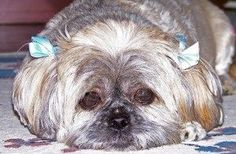 Shihtzu Time - The World of the loveable Shih Tzu Shitzu Puppies, Shih Tzu Puppy, Shih Tzus, Baby Puppies, Baby Shih Tzu, Shih Tzu Mix, Imperial Shih Tzu, Best Dog Food, Puppy Food
