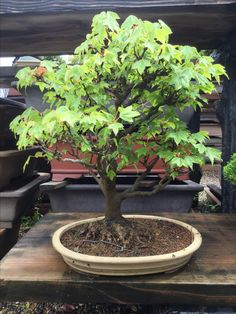 Bonsai, Japanese, Plants, Japanese Language, Plant, Planets, String Garden