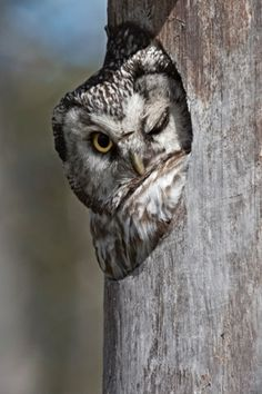 This sly owl pokes its head out of a large hole to give a photographer a cheeky wink.