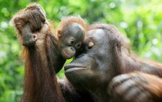Mama & Baby Orangutan love