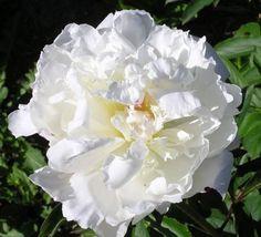 Mrs Edward Harding - Herbaceous Peony/ Paeonia