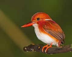 Madagascan pygmy kingfisher (Corythornis madagascariensis) Alcedinidae family. It is endemic to Madagascar and found in western dry deciduous forests.