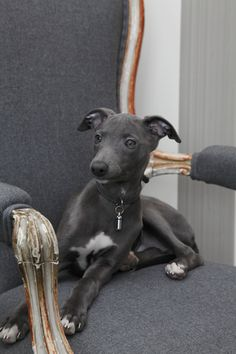 the perfect color whippet