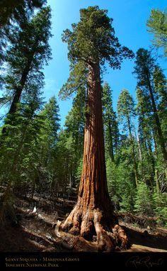 Giant Sequoia | Giant_Sequoia_Mariposa_Grove_2664