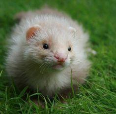 Cinnamon angora ferret #ferrets #cute #fuzzball