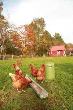 I love my chickens... Unlike my children, they see me coming and run up to greet me!
