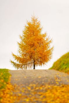 The golden tree at the end of the road