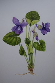 Viola odorata by Lucinda Warner at http://whisperingearth.co.uk.