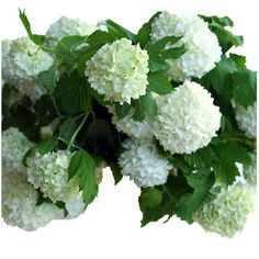 FiftyFlowers.com - Viburnum Snowball White Flower