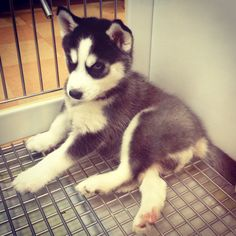 Husky, one of my favourite dogs. I used to have one, I have a huskamute now :) Super Cute Animals, Cute Little Animals, Baby Animals, Adorable Animals, Puppies And Kitties, Baby Puppies, Doggies, Kittens, My Husky