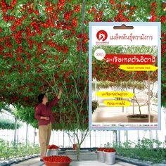 มะเขือเทศต้นอิตาลีทริปแอลครอป – Italian tomato tree (จำหน่ายเมล็ดพันธุ์นำเข้าจากต่างประเทศคุณภาพดี) Tomato Tree