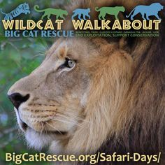 Join us for the Wildcat Walkabout special event. Get your tickets now because the Wildcat Walkabout ALWAYS sells out!  On Oct 1, 2016 you can walk about the sanctuary at your own pace, take all the photos and videos you want, and have the benefit of knowing that your admission will go to conserving exotic cats in the wild. http://bigcatrescue.org/safari-days/Proceeds to be donated to five conservation projects saving exotic cats in the wild:  1) Tiger: CITES Event - Ending Commer
