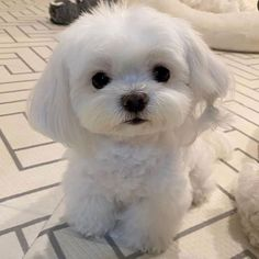 Maltese Puppies For Sale, Cute Baby Puppies, Maltese Dogs, Teacup Puppies, Cute Baby Animals, Dogs And Puppies, Baby Maltese, Doggies, Dog Tumblr