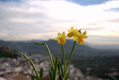 Narcissus assoanus (Álora - Diciembre 2012).