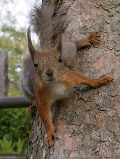 Squirrel spock beam me up. Squirrel Girl, Cute Squirrel, Squirrels, Animals And Pets, Baby Animals, Funny Animals, Wild Animals, Amazing Animal Pictures, Cute Little Animals