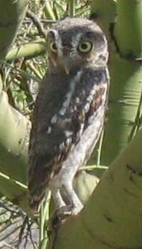 Elf Owl: found in the Southwestern U.S. and Mexico. It is the world's lightest owl; mean body weight is 1.4 oz.