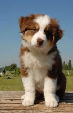 red australian shepherd puppy