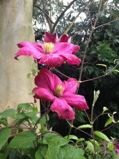 Largeflowered Clematis (clematis hybrid): Many kinds, all with mostly similarly shaped plate-like flowers in a range of colors involving shades of white, pink, red, purple and blue - usually with one color dominating. Red Purple, Pink, Shades Of White, Clematis, One Color, Plate, Range, Colors, Garden