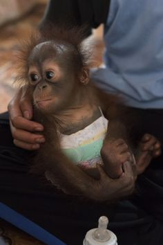 Infant Orangutan Clings To Rescuers' Hands After Being Found Alone
