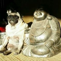Buddhist #pug - This is definitely an all-time favorite. Namaste.
