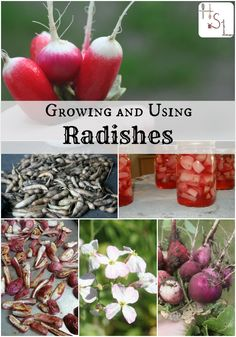 Make the most of this early and easy to crop with this guide to growing and using radishes.