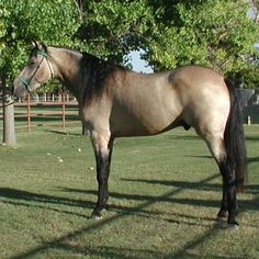 missouri fox trotter horse pictures - Google Search