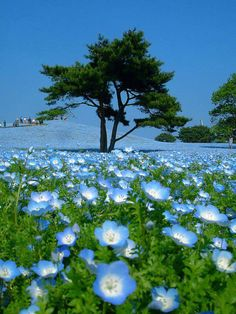 Nemophila meadow in Japan with flowers so blue that they appear to match the sky.