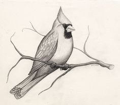 """Drawing idea for Conor: Northern Cardinal Publ. Drawing idea for Conor: Northern Cardinal Published on Septembmer 2004 in The Desert-Mountain Times, Alpine, Texas, with the article """"Northern and. Bird Drawings, Pencil Art Drawings, Animal Drawings, Drawing Sketches, Drawing Animals, Bird Pencil Drawing, Sketches Of Birds, Drawing Ideas, Drawing Birds"""