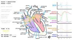 Nice animation of the operating scheme of coronary circulation - Album on Imgur