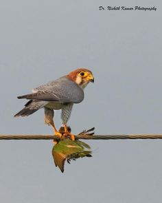 Red-necked Falcon with Green Bee eater Kill Bee Eater, Vertebrates, Birds Of Prey, Raptors, Falcons, Wild Birds, Bird Art, Pet Birds, Eagles