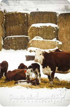 cows n calves -- love this.  I remember the winters with the hay covered in snow and babies.  Oh I loved the babies.  Can't eat veal ...