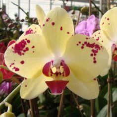 Phalaenopsis Orchid 6